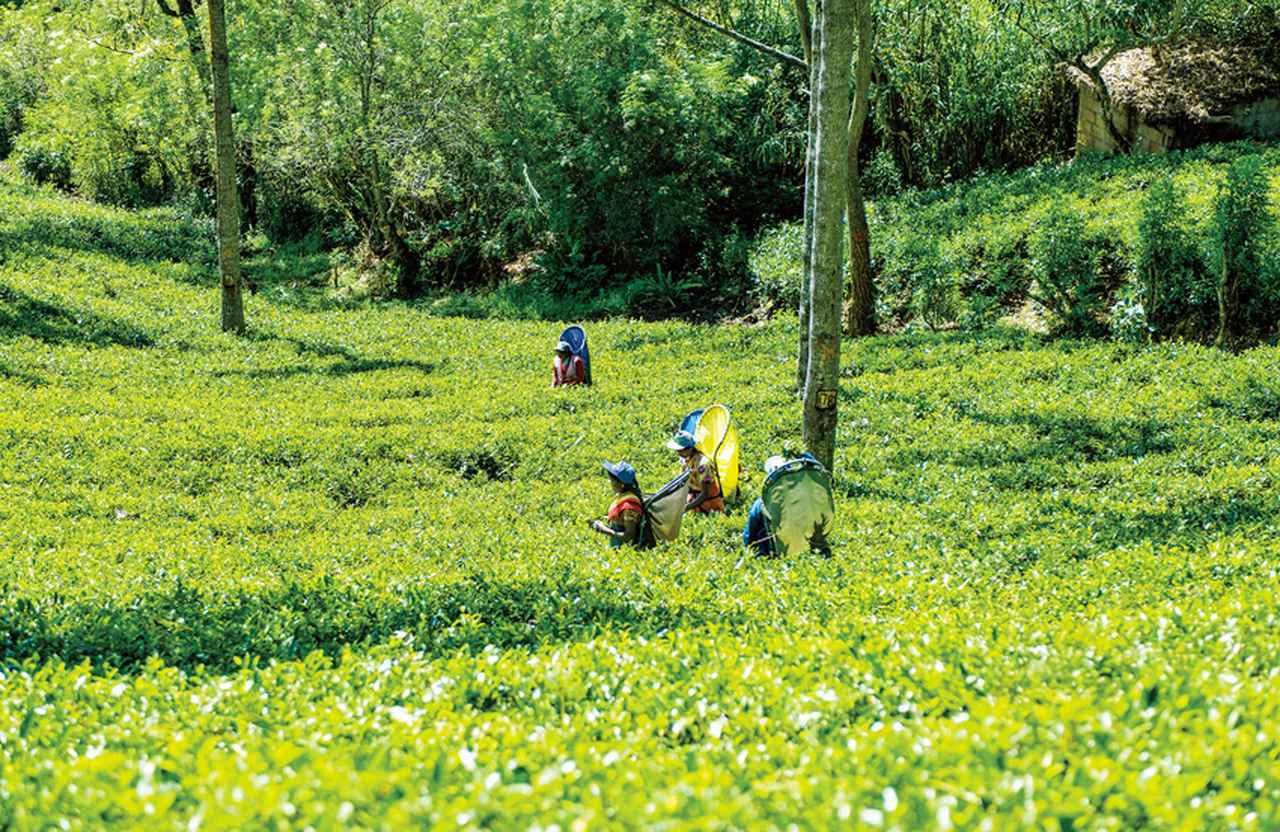"""""""世界の紅茶王"""" サー・トーマス・リプトンが 産地として見出した高原地帯を訪問!"""